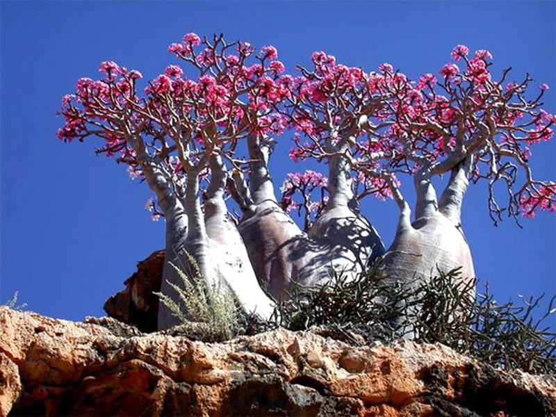 Пустынная Роза