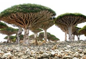 Сокотрово Драконово дерево2