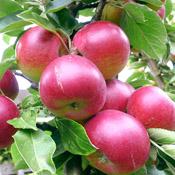 Иконка яблоки